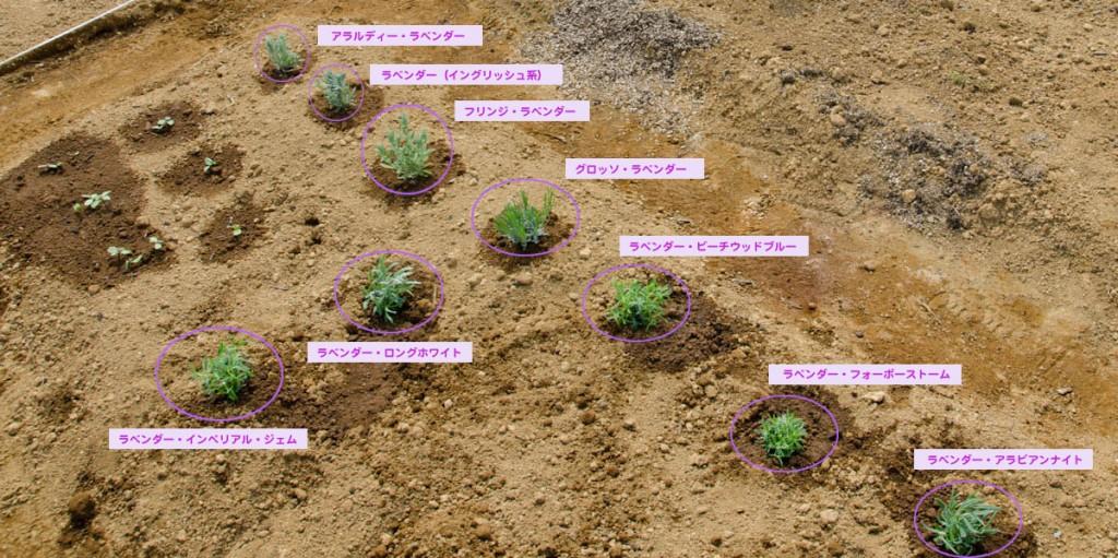 ラベンダー畑に苗を植えました