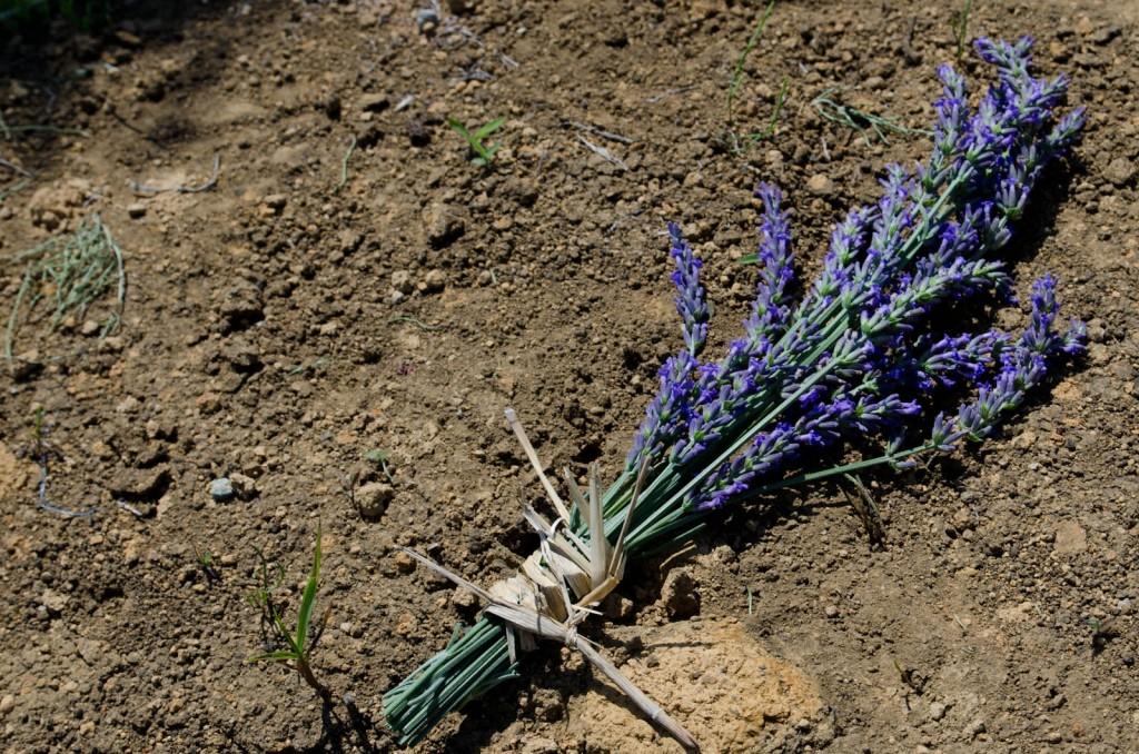 グロッソ・ラベンダーの花束
