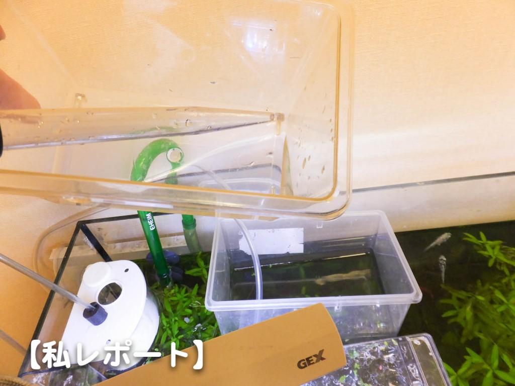 孵化させ、真水で洗ったブラインシュリンプを投入。