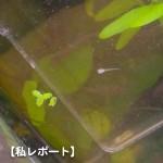 コリドラス(推定白コリ)の稚魚